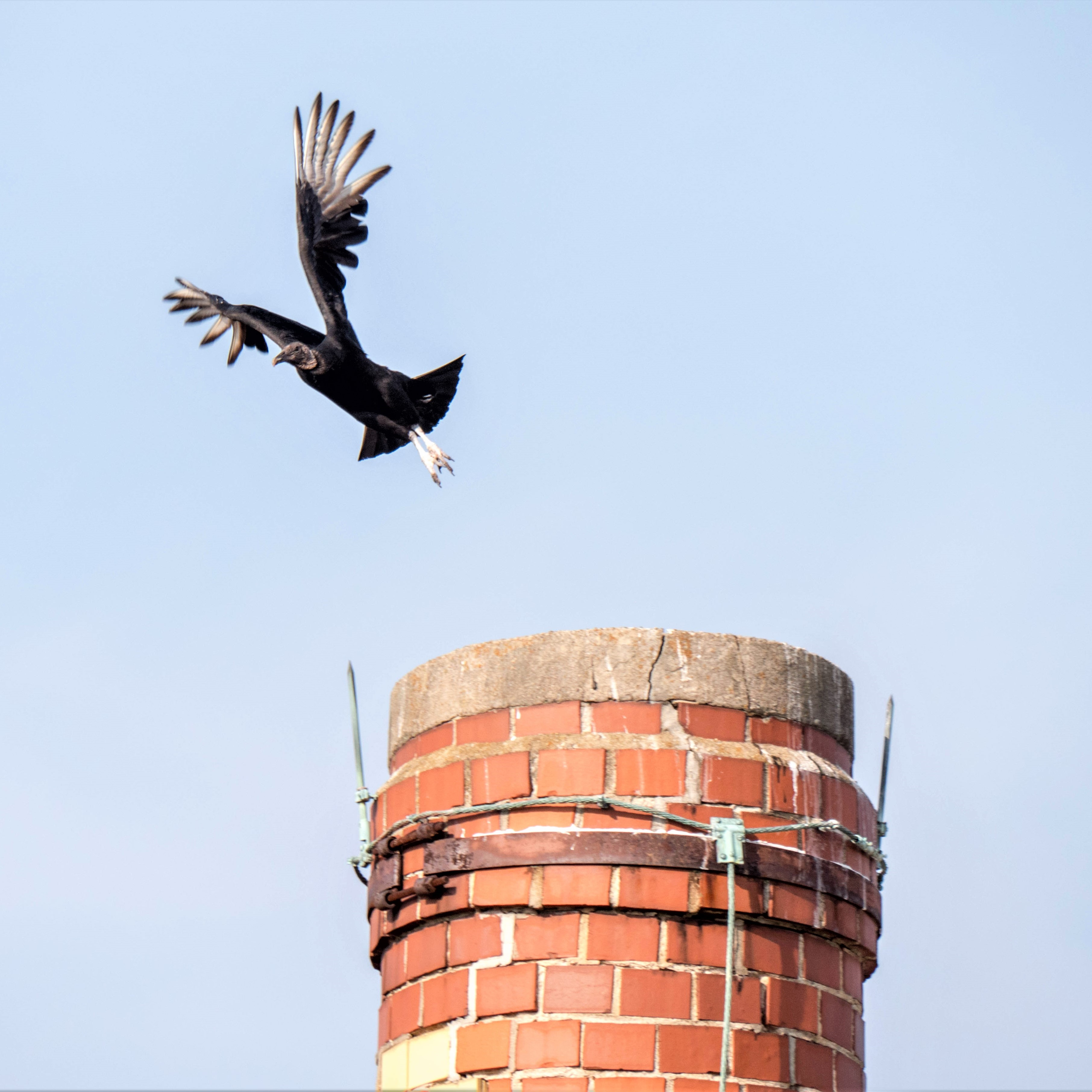 FPNL CdCC turkey vulture square