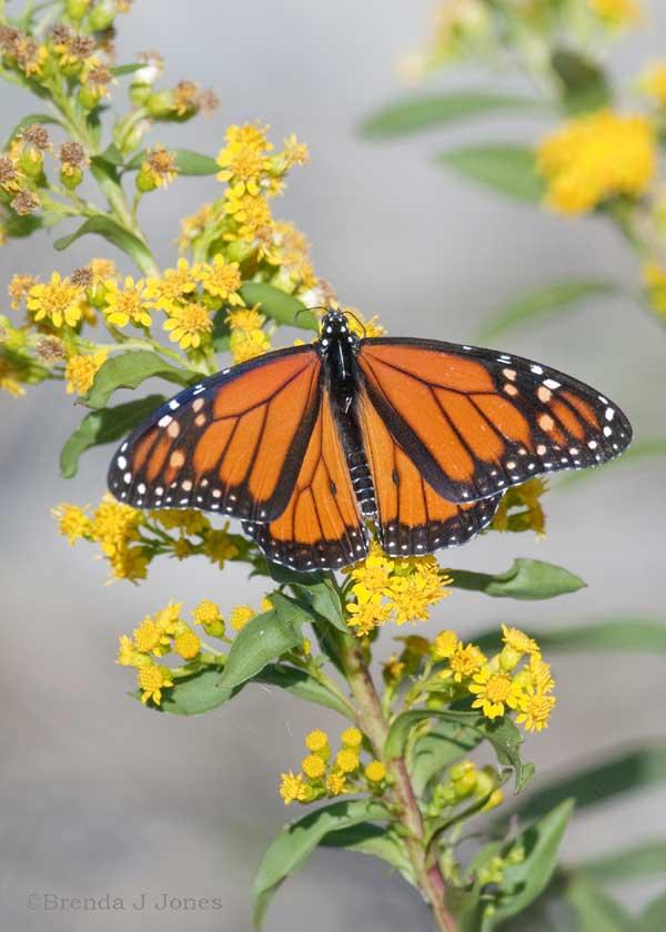 Monarch--Cape-May-Brenda-Jo